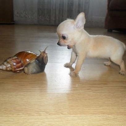 Chihuahua Is Confused By The Freakish Alien Snail