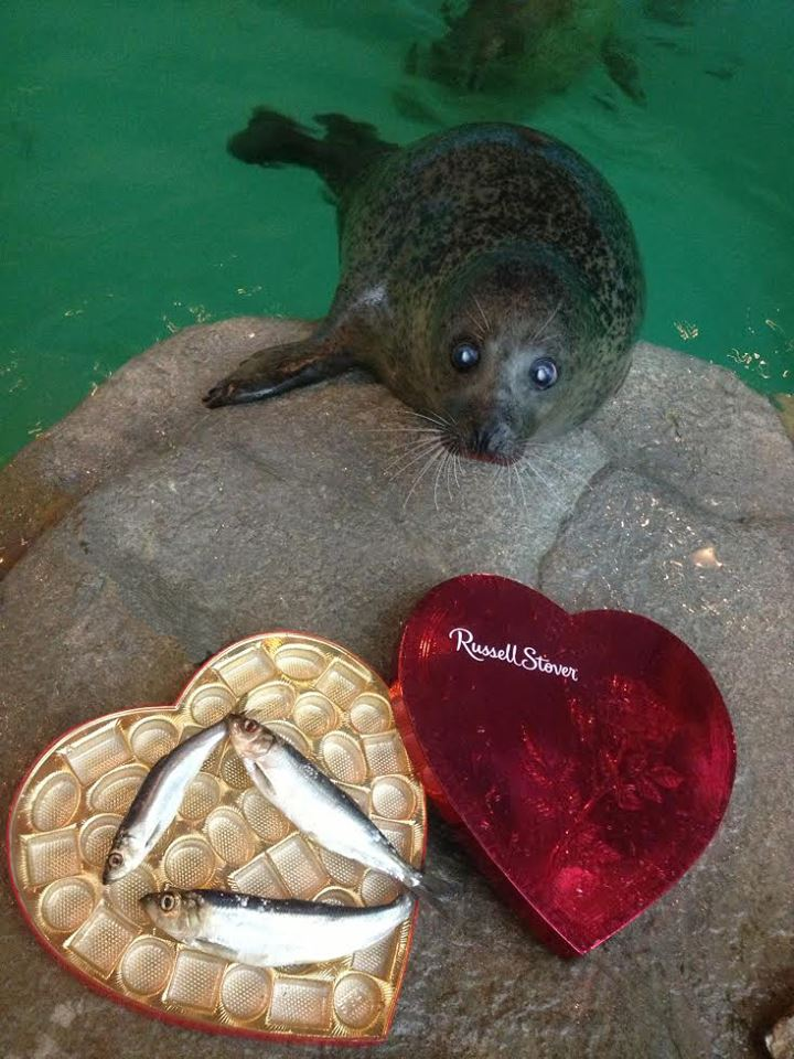 Cute seal is swoon by your romantic heart fish present on for Funny fish pictures