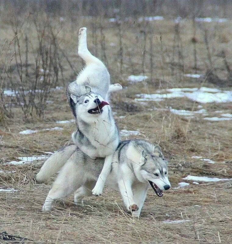 Husky Dog Memes Husky Dog Goes Full Derp as he