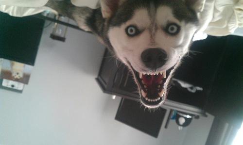 Husky Dog Looks Terrifying Waking Up In The Morning