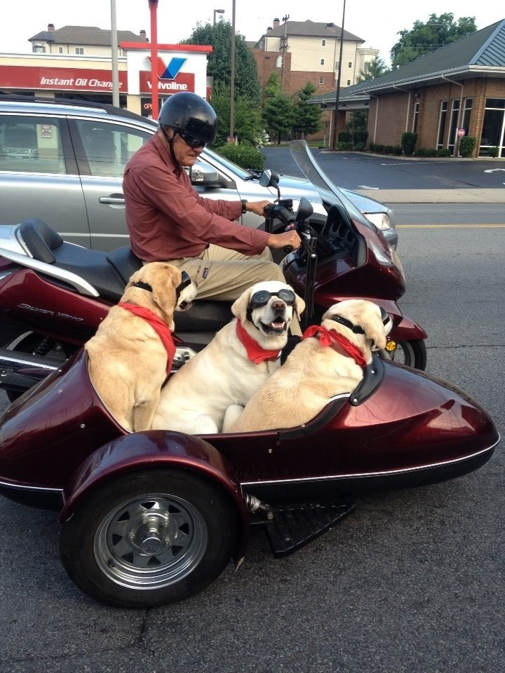 Old Man & His Three Dogs Ride a Motorcycle Around Town