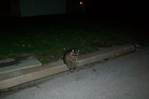 raccoon is having a bit of bad night on the side of the road